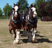 picture of clydesdale  - Pair of Clydesdales in harness walking towards the camera - JPG