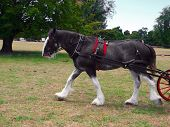 image of clydesdale  - A roan clydesdale striding out with the carriage just coming in sight - JPG
