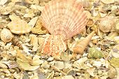 Sea Shells Background. Background, Beach, Beige, Brown, Beach, Collection, Design, Gray .life. Macro poster