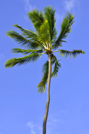 foto of castration  - Castrated coconut palm with blue sky background - JPG