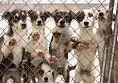 stock photo of sled dog  - A litter of seven puppies in training to become sled dogs stand and wait for visitors behind a chain link fence - JPG