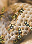 picture of wasp sting  - Exposed paper wasp nest with wasps crawling over it - JPG