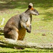 image of tammar wallaby  - Close - JPG