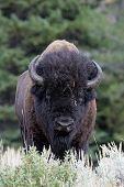 stock photo of lamar  - Buffalo standing in high grass at Yellowstone - JPG
