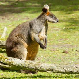 picture of tammar wallaby  - Close-up of a swamp wallaby in a dutch zoo