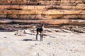 foto of wild donkey  - Free wild Donkey is grazing in desert - JPG