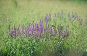 foto of purple sage  - Background - JPG