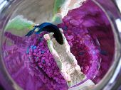 picture of fighter-fish  - a top down macro of my pet beta fish - JPG