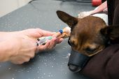 picture of veterinary surgery  - A veterinarian is injecting the leg of a dog and preparing him for surgery - JPG
