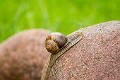 stock photo of hermaphrodite  - Snail climbing on a rock - JPG
