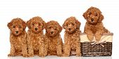 pic of fluffy puppy  - Poodle puppies with wicker basket on a white background - JPG