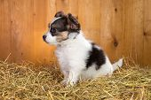image of epagneul  - Papillon puppy sitting on a straw on a background of wooden boards - JPG