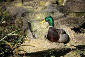 foto of avian flu  - Mallard duck sitting on a rock in Rookery in Streatham - JPG