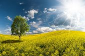 stock photo of rape-field  - Landscape with beautiful morning yellow rapeseed field a tree in field and majestic clouds in sky - JPG