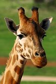 picture of terrestrial animal  - The giraffe is an African even-toed ungulate mammal, the tallest living terrestrial animal and the largest ruminant.