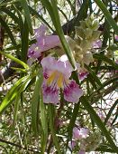 pic of xeriscape  - desert willow flower - JPG