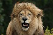 Male Lion Grimace