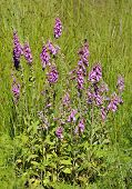 picture of digitalis  - Foxgloves - Digitalis purpurea