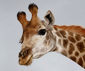 foto of inquisition  - Portrait of an inquisitive giraffe from Africa isolated on white - JPG