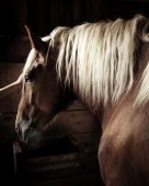 stock photo of workhorses  - A farm horse in a stable, being petted.
