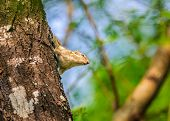 Indian Palm Squirrel, Funambulus Palmarum, On A Tree Trunk
