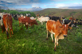 foto of zebu  - Zebu cattles on a green meadow at sunny morning - JPG