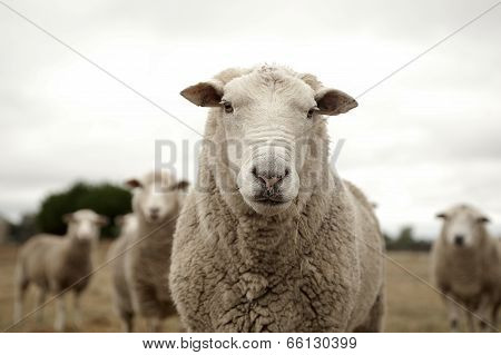Sheep with the crowd poster