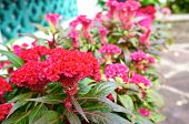 stock photo of celosia  - Red Celosia argentea Cockscomb or Chinese Wool Flower in the garden - JPG
