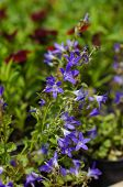 image of harebell  - harebell wildflowers  - JPG