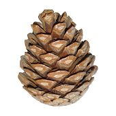 image of pine cone  - fir tree cone
