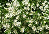 stock photo of jasmine  - Jasmine flowers - background; beautiful jasmin flowers in bloom