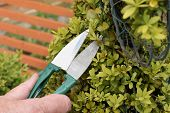 stock photo of clippers  - Trimming an ornamental shrub with topiary shears or clippers - JPG