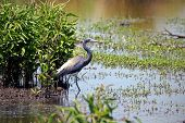foto of bayou  - Tricolored or Louisiana Heron in the bayou - JPG