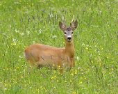 foto of roebuck  - Roebuck (capreolus capreolus) in the green grass