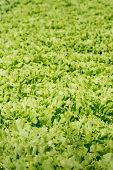 stock photo of endive  - Small scale organic cultivation of endive in a Dutch vegetable nursery - JPG