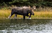 pic of bulls  - A bull moose walks through a river feeding a beaver pond moving from one meadow to another during the rut season.