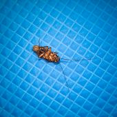 picture of cockroach  - Dead cockroach close up on blue background - JPG