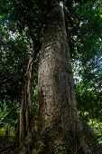 pic of epiphyte  - Looking up the trunk of a giant rainforest tree in Nicaragua - JPG