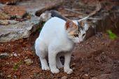 foto of pooping  - white cat pooping using red soil as litter box - JPG