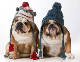 image of bulldog  - two dogs dressed for winter  - JPG
