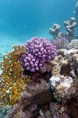 pic of fire coral  - colorful coral reef in tropical sea on a background of blue water - JPG