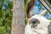 pic of lamas  - Portrait of a lama on farm - JPG
