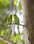 picture of parakeet  - Budgerigars shell parakeet on branch  - JPG