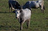 pic of prairie  - Cows of Maremmana race while grazing over a green prairie - JPG