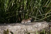 picture of field mouse  - a garden or field mouse eating peanuts - JPG