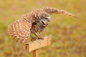 stock photo of spread wings  - Burrowing Owl  - JPG