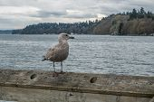 picture of dash  - A lone seagull sits on a railing on a pier in Dash Point Washington - JPG
