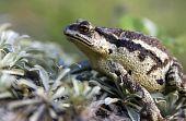 foto of sakhalin  - The  Portrait Toad cane on island Sakhalin - JPG