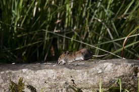 stock photo of field mouse  - a garden or field mouse eating peanuts - JPG