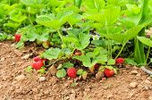 foto of strawberry plant  - some ripe strawberries in the plant - JPG